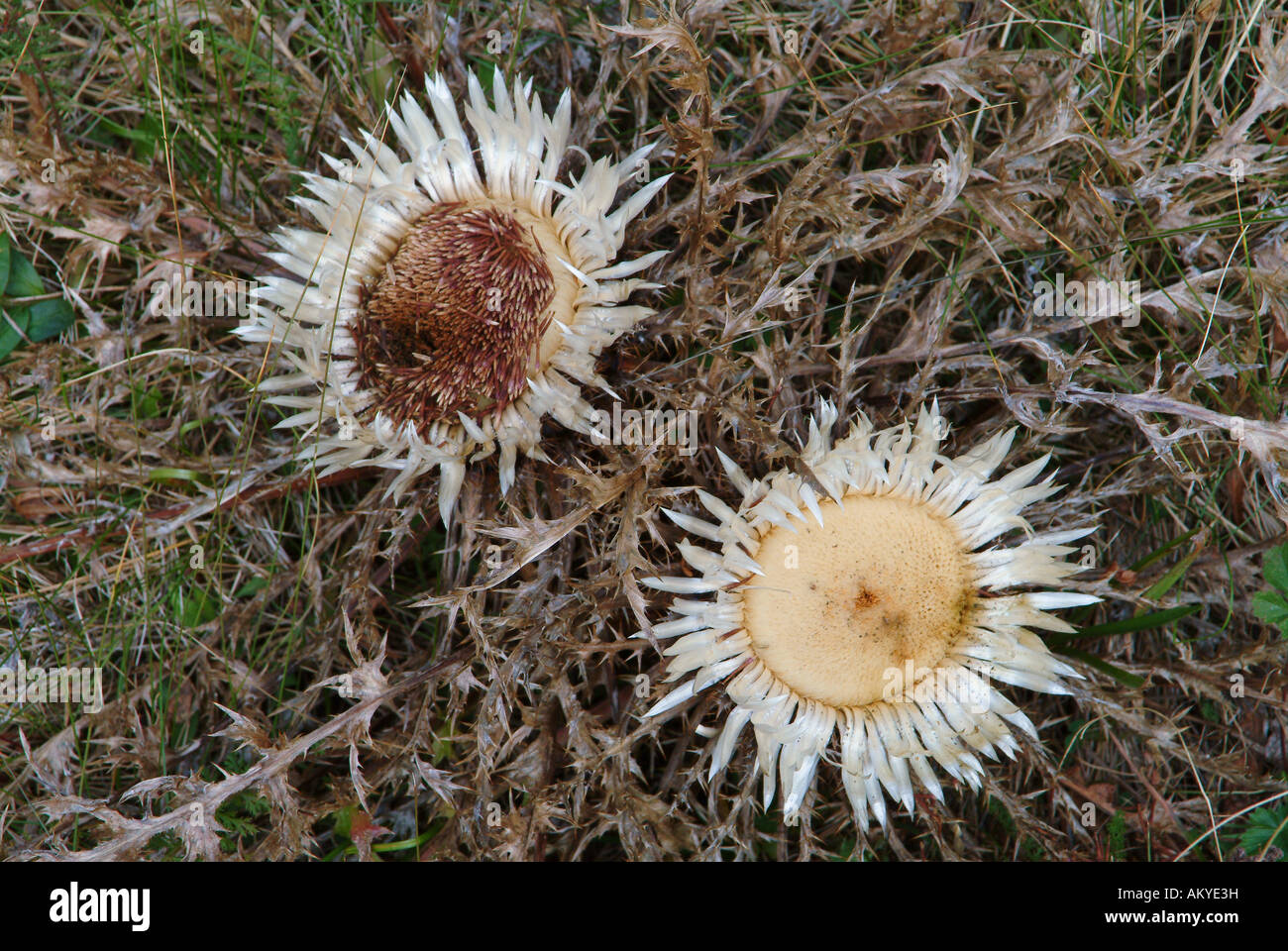 Two carline thistles - Stock Image