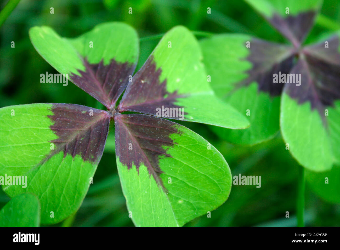 Clover with four leafs, (Trifolium) - Stock Image