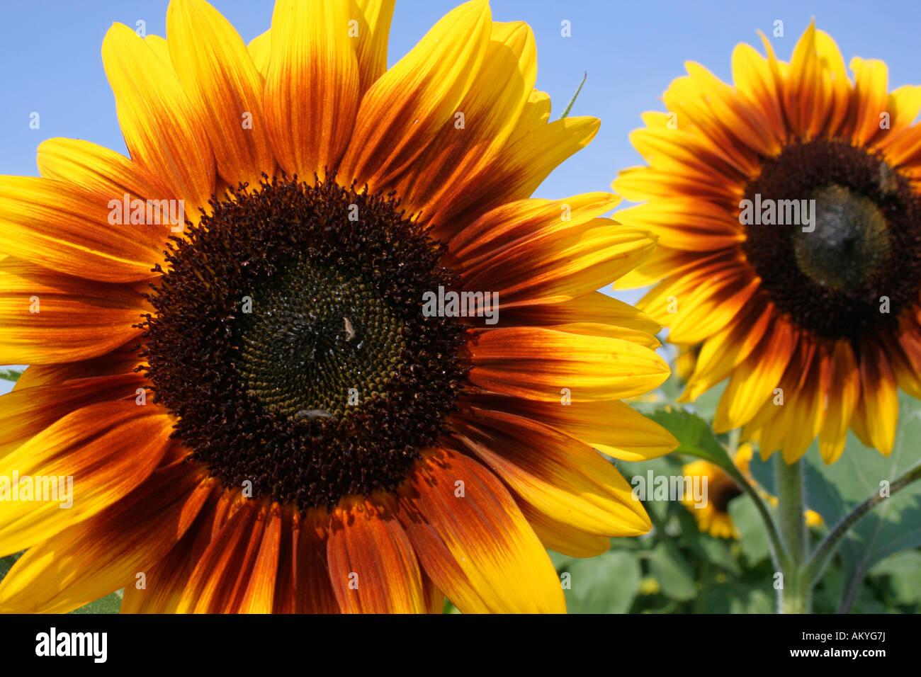 Sunflower, (Helianthus annuus) - Stock Image