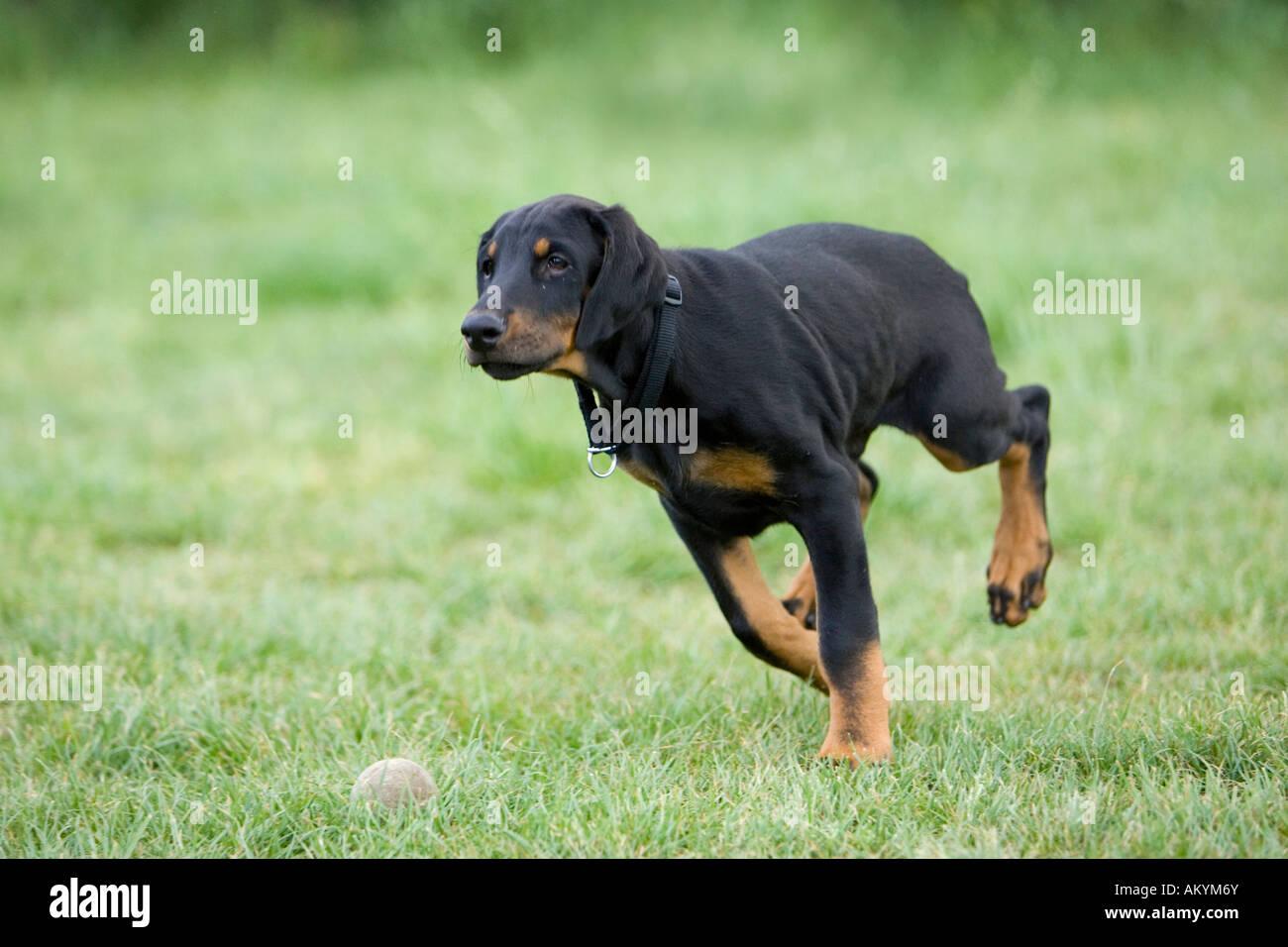 Young Doberman Pinscher - Stock Image