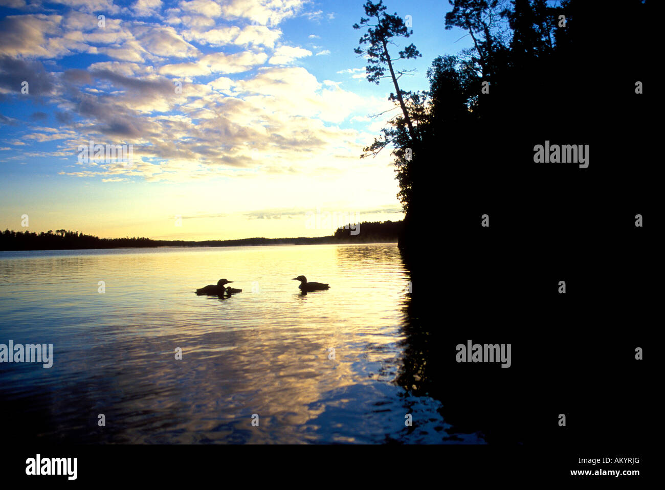 Common Loon on Seagull Lake in the Boundary Waters Canoe Area Wilderness BWCAW Minnesota - Stock Image