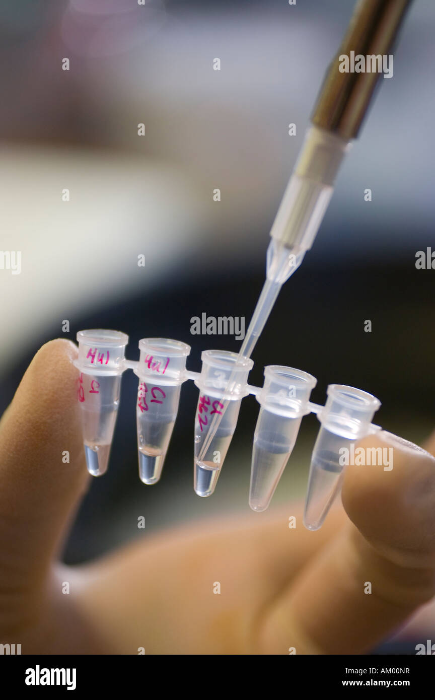 Medical researcher using a pipette to apply a sample into a micro centrifuge tube - Stock Image