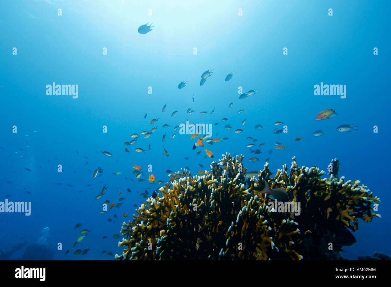 Reef fish, Anthiinae and Pomacentridae above a Fire coral, Millepora tortuosa, Red Sea, Egypt - Stock Image