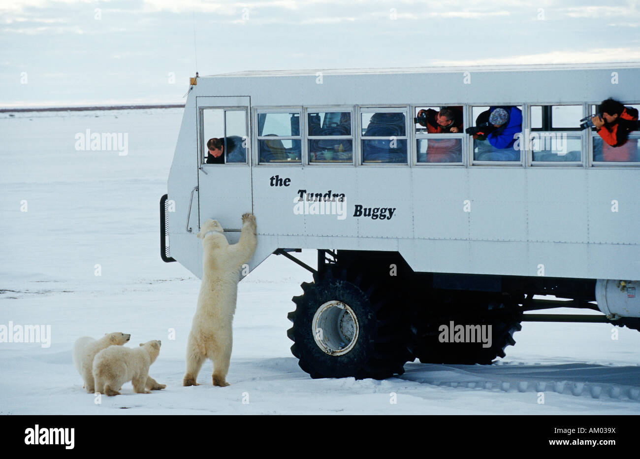Polar bears (Ursus maritimus), mother tries to get on the Tundra Buggy, young animals, Hudson Bay, Canada, North - Stock Image