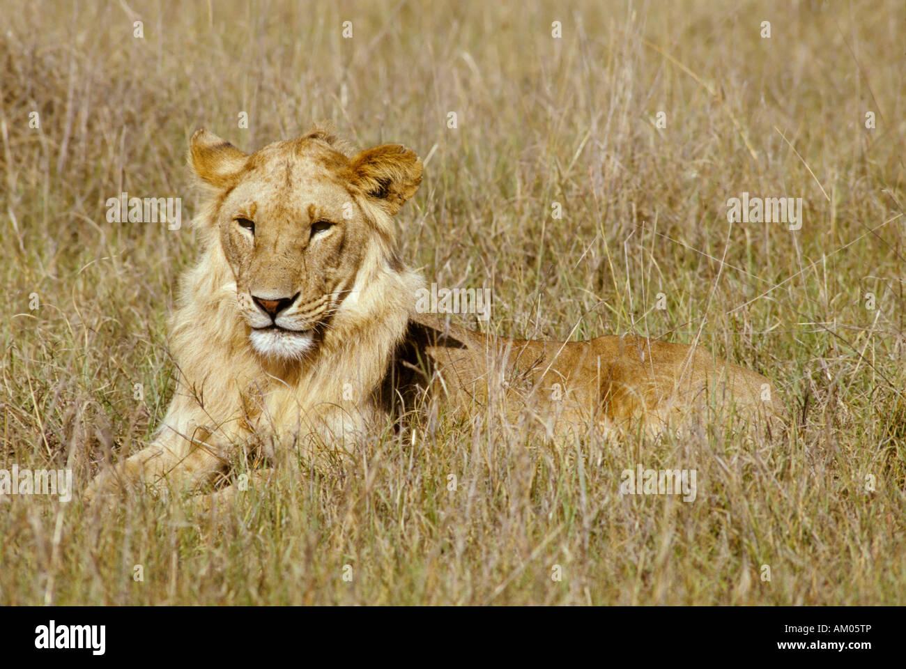 Young male lion (panthera leo) lying in high grass, Masai Mara National Reserve, Kenya Stock Photo
