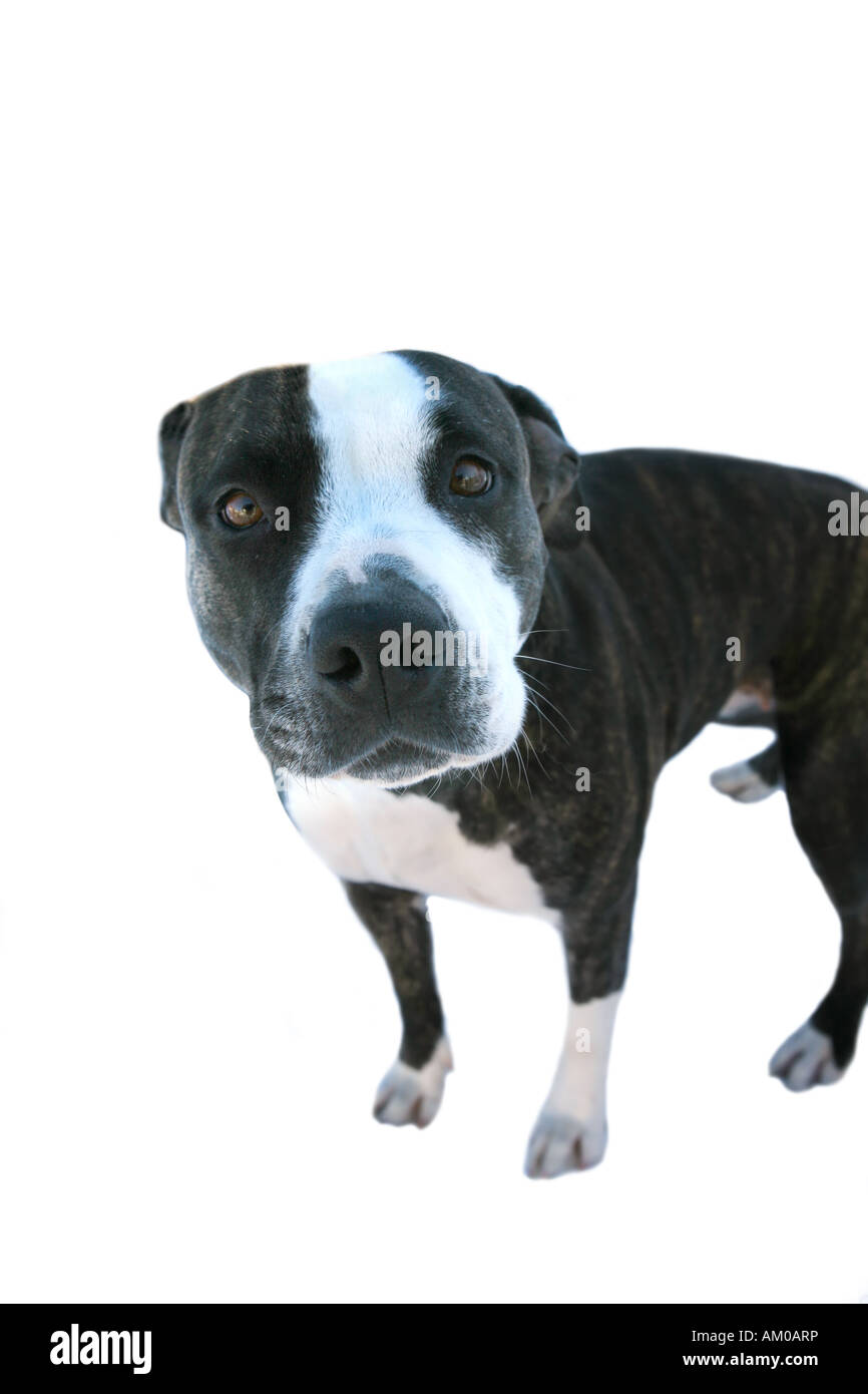 Staffordshire Terrier or pitbull terrier - Stock Image