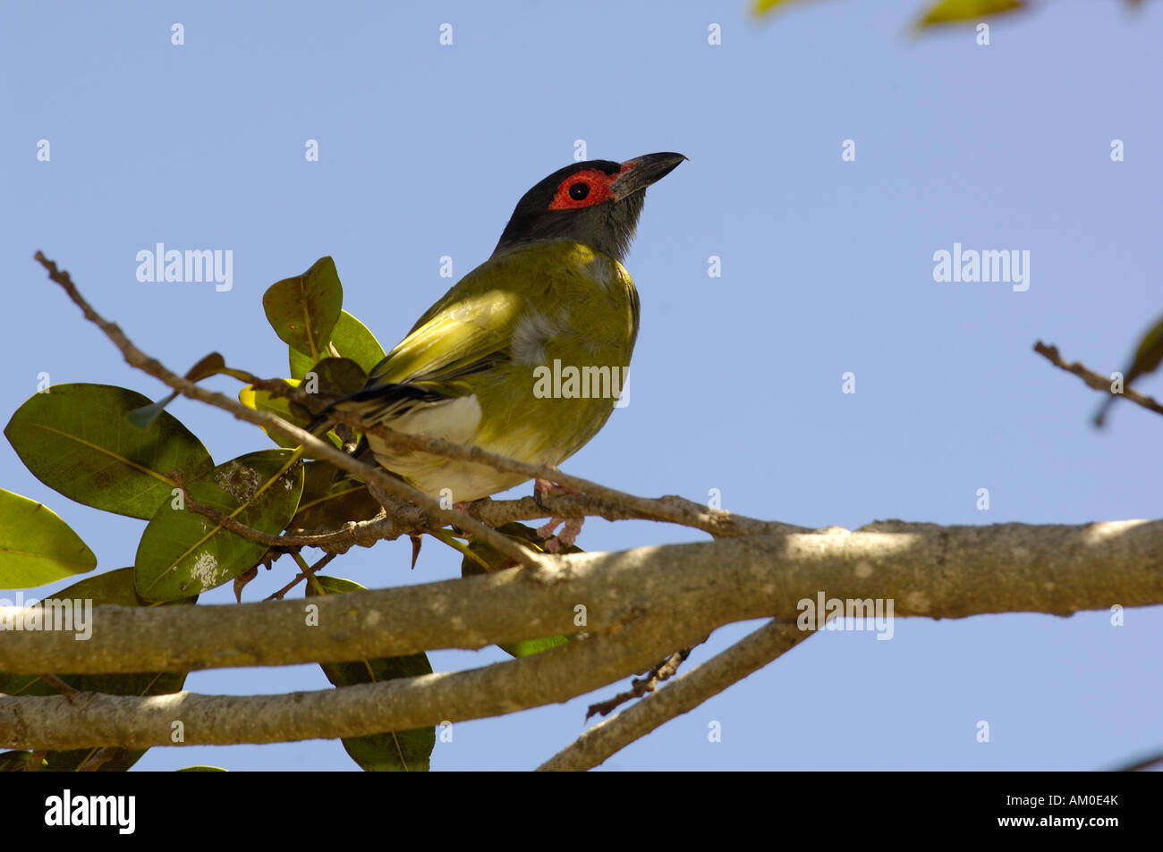 Figbird (Sphecotheres viridis) Sydney, NSW AUSTRALIA. Stock Photo