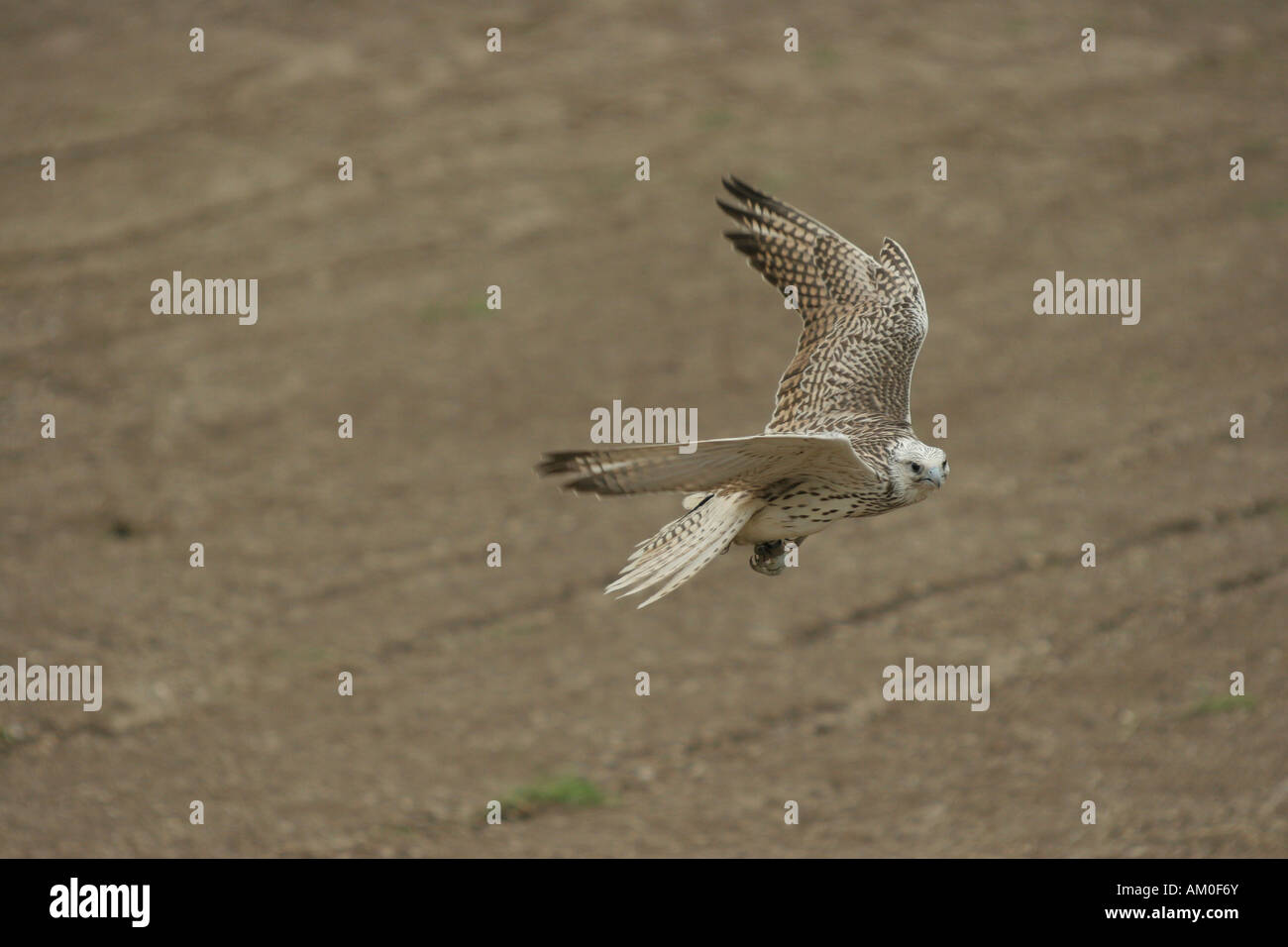 Trained Saker falcon, hybrid Saker Gerfalcon, Germany Stock Photo