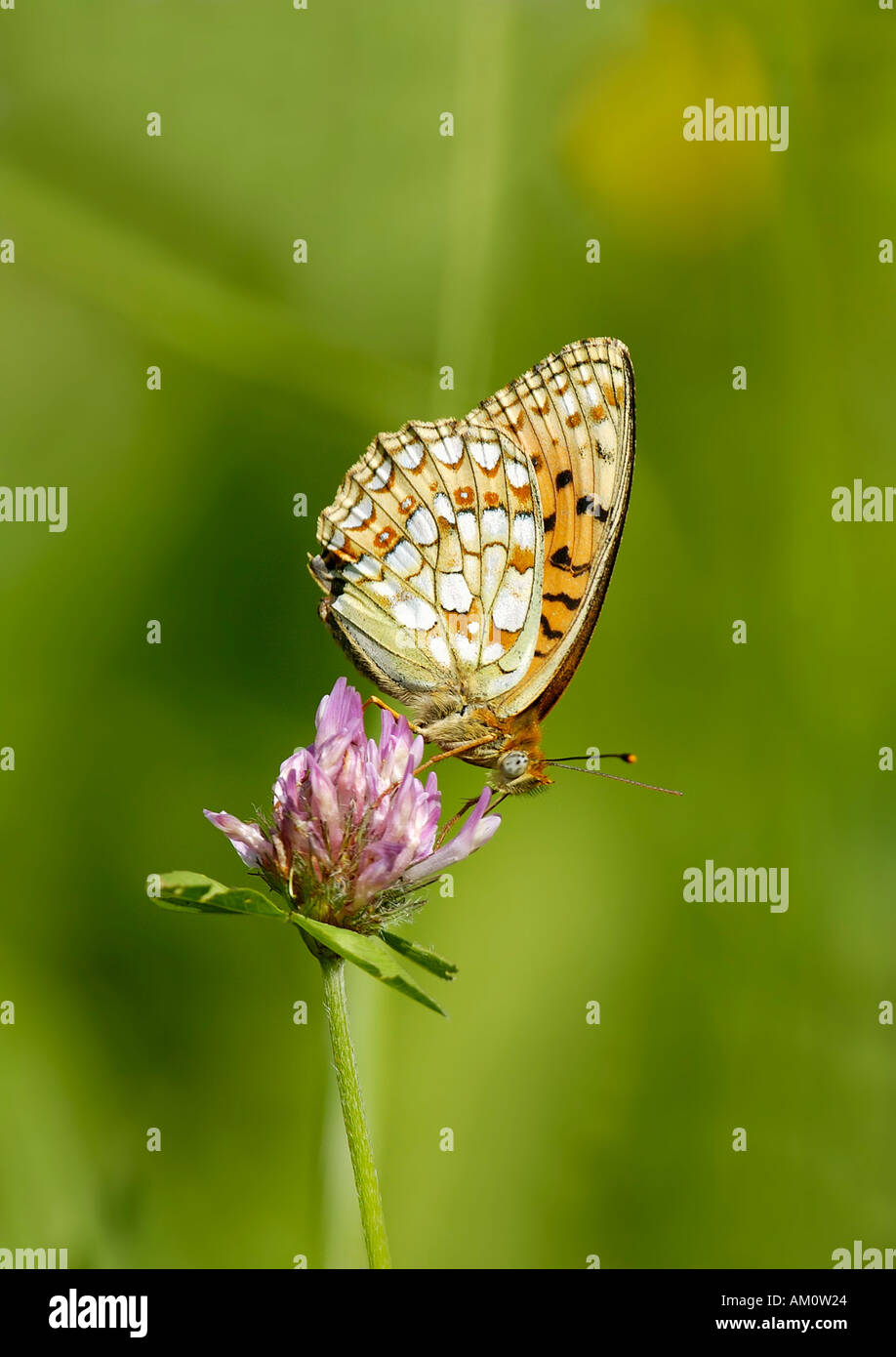 High Brown Fritillary Argynnis adippe on Clover - Stock Image