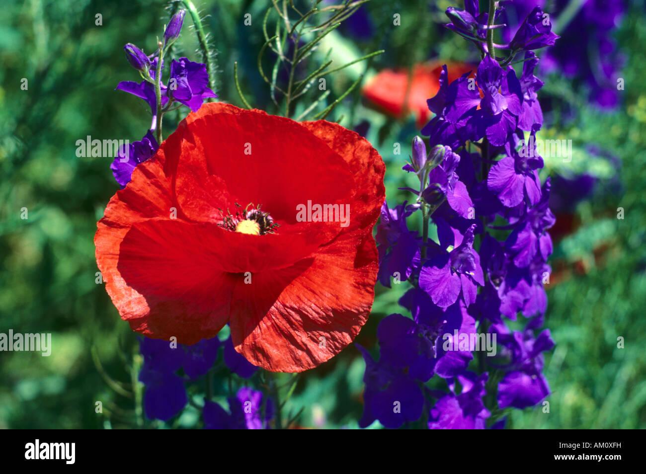 Purple Delphinium Stock Photos & Purple Delphinium Stock Images - Alamy