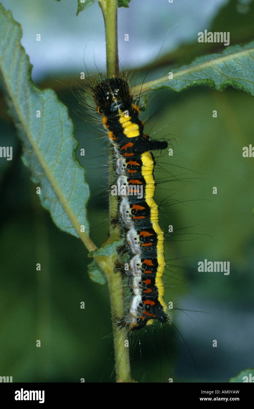 Caterpillar (Apatele psi), eating Stock Photo
