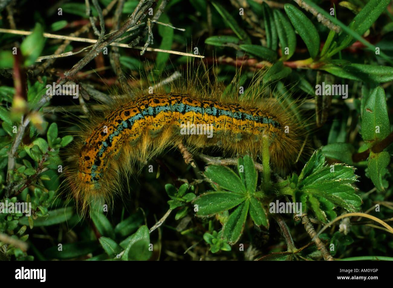 Ground Lackey, Malacosoma castrensis, caterpillar - Stock Image