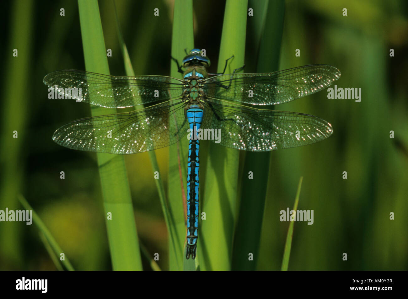 Emperor Dragonfly, Anax imperator - Stock Image