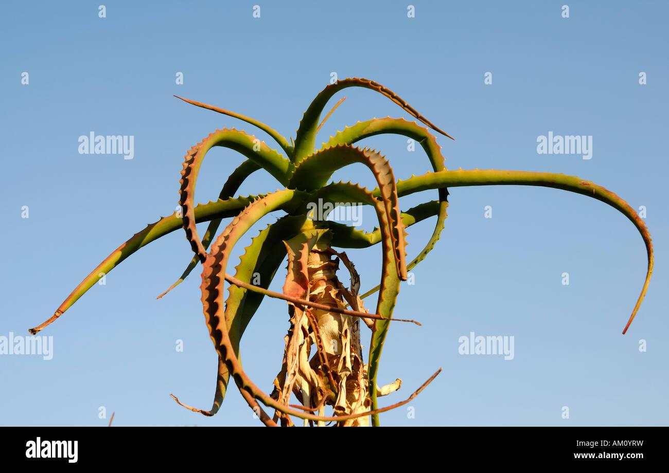 Thorny leaves of a tree aloe, aloe arborescens, Liliaceae - Stock Image