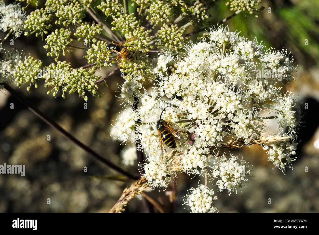 2 species of wasps meet on umbels of angelica silvestris apiaceae to find nectar - Stock Image