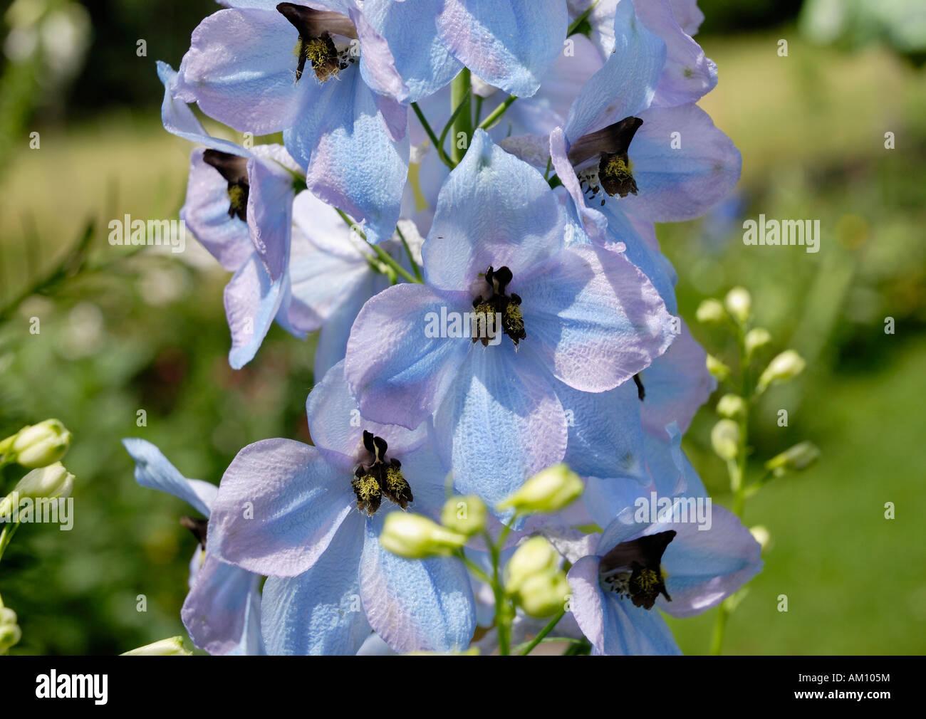 Light blue flowers of a larkspur delphinium ranunculaceae stock light blue flowers of a larkspur delphinium ranunculaceae izmirmasajfo