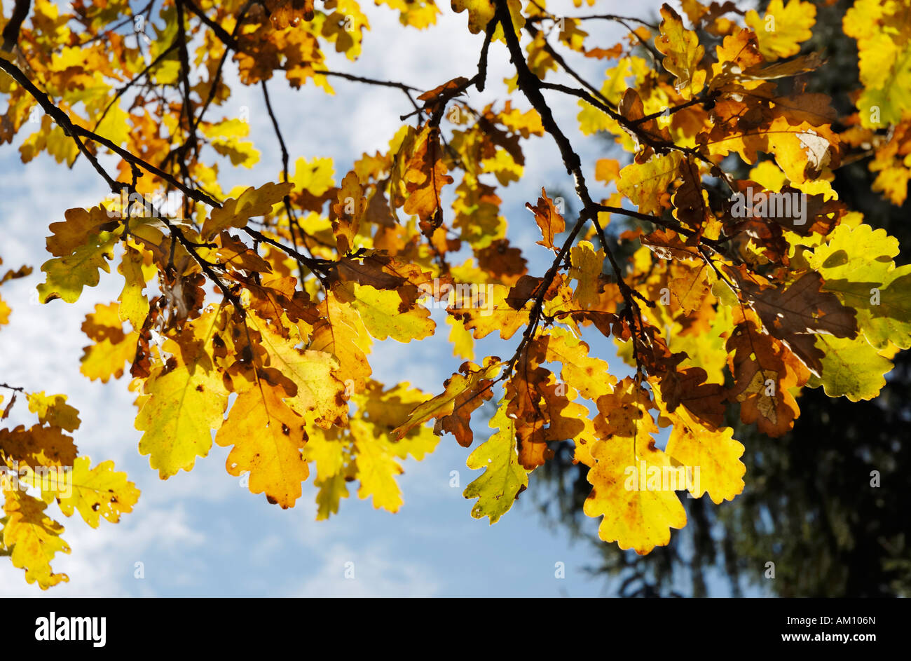 Autumnal coloured oak leaves, quercus robur fagaceae - Stock Image