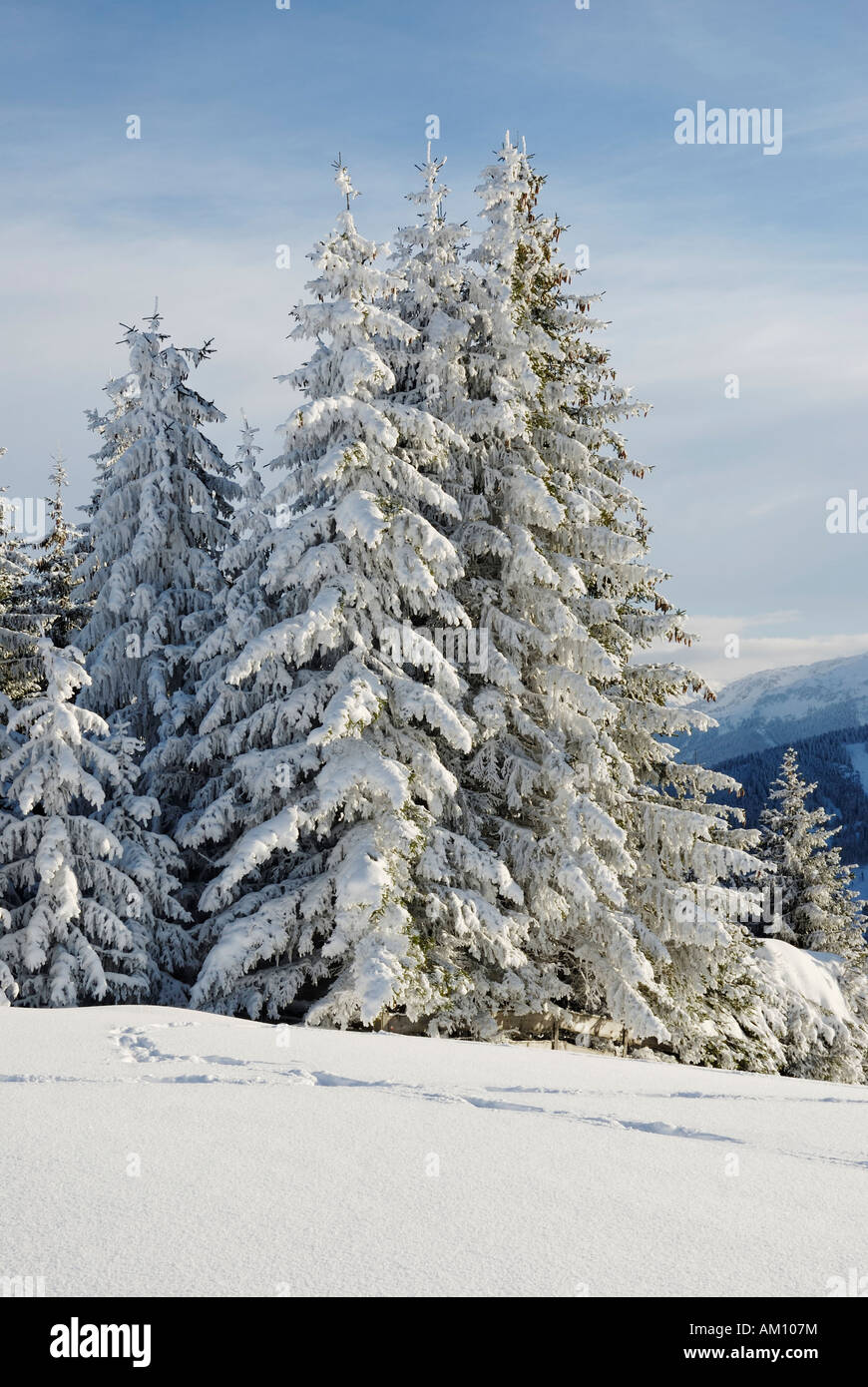 Snow covered spruced in the tyrolian alps, Austria - Stock Image