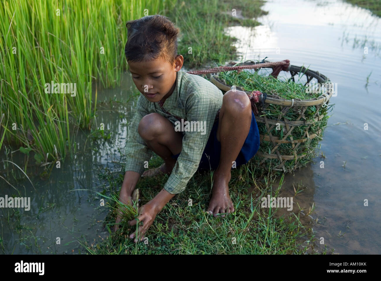 Boy collecting animal fodder in flooded rice fields, Takeo Province, Cambodia - Stock Image