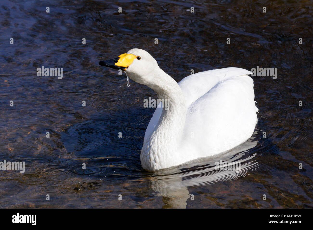 Drinking whooper swan (Cygnus cygnus) Stock Photo