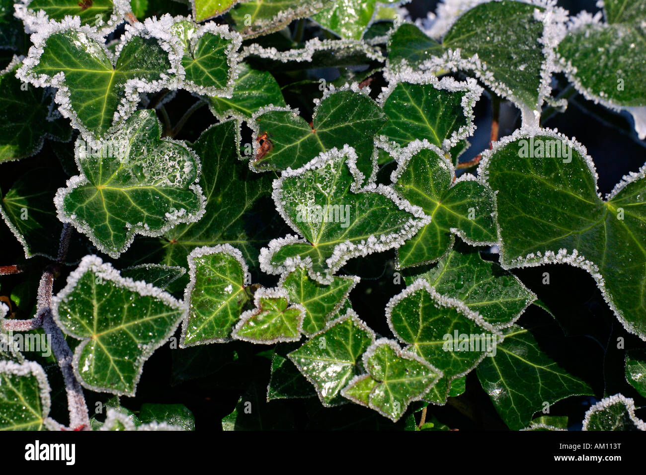 Common ivy - english ivy - ivy - leaves covered with hoarfrost (Hedera helix) Stock Photo