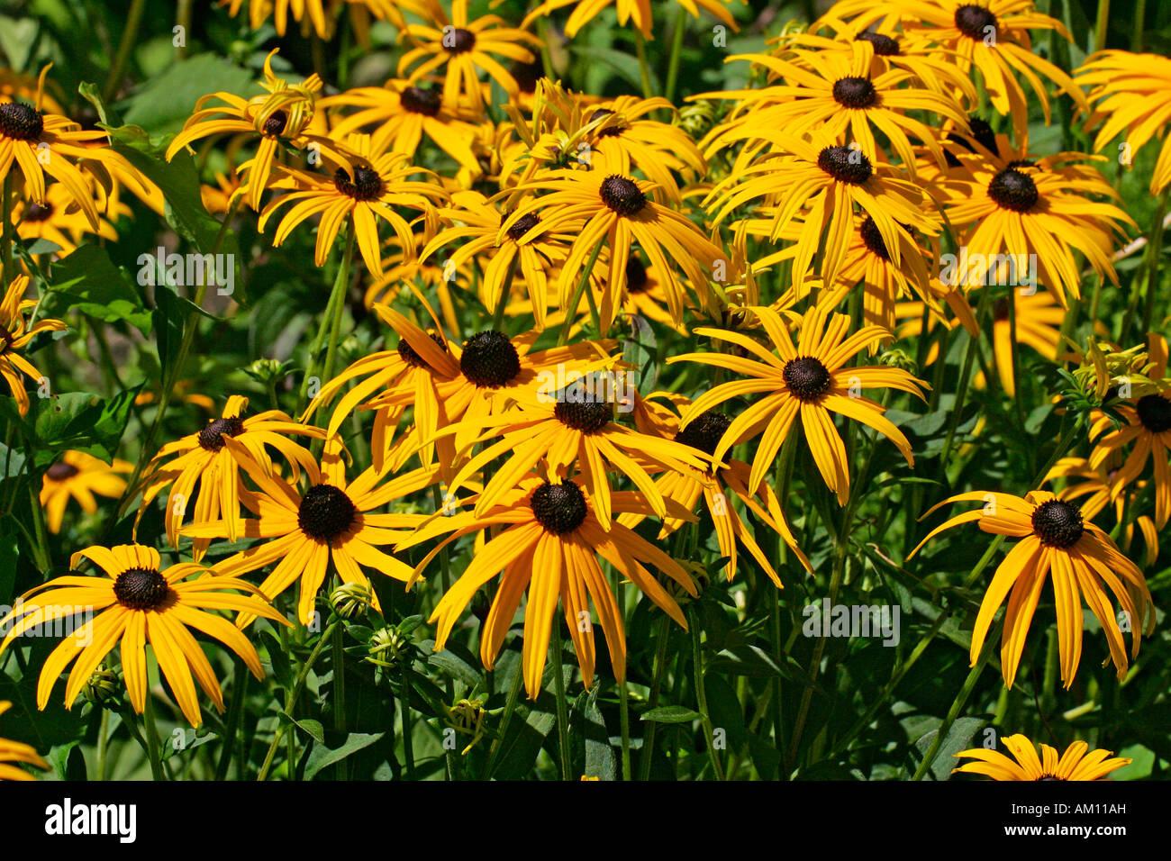 Flowering cone flower cultivar Goldsturm (Rudbeckia fulgida var. sullivantii cultivar Goldsturm) - Stock Image