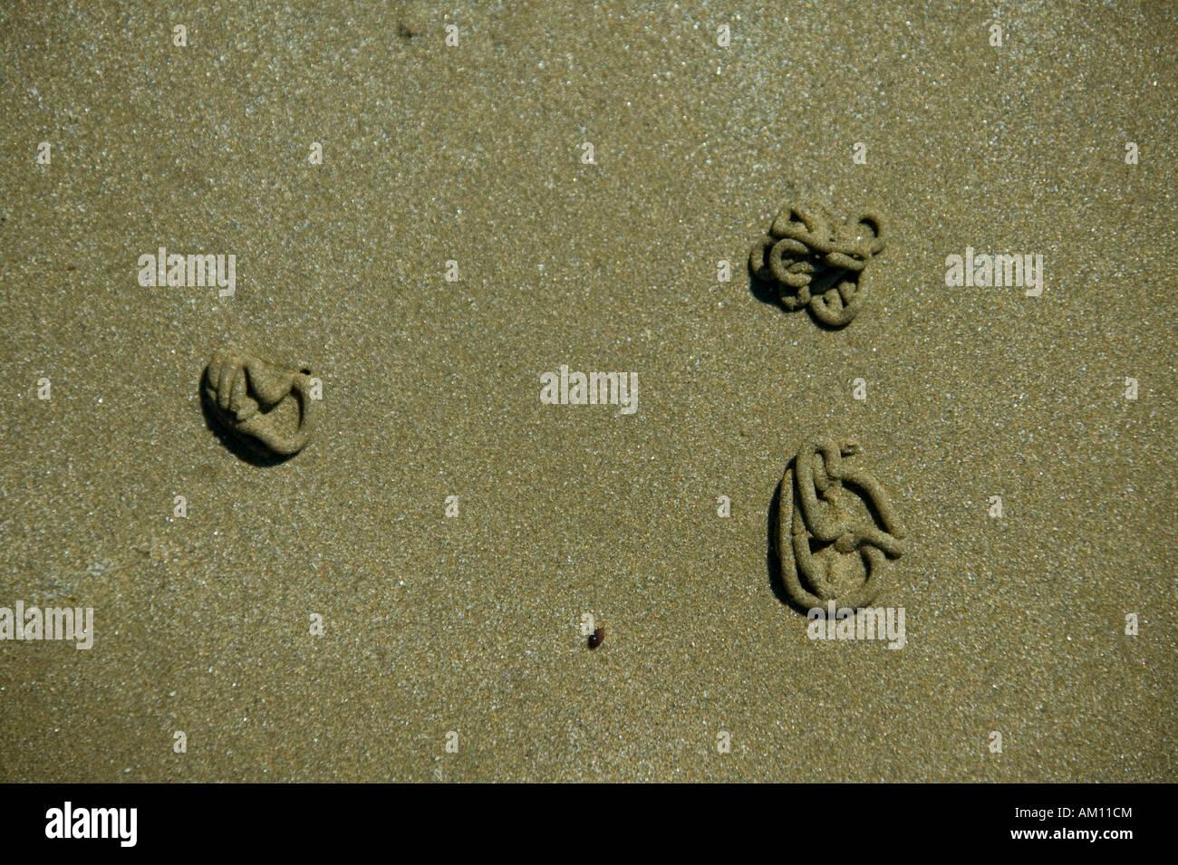 Lugworms (Arenicola marina) Stock Photo