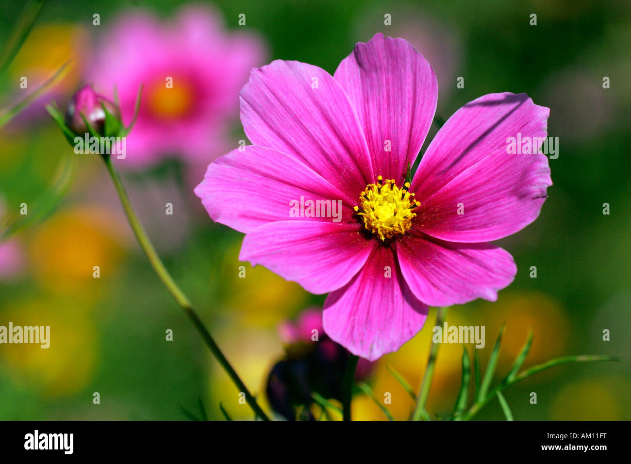 Flowering Mexican Aster - Garden Cosmos (Cosmos bipinnatus) - Stock Image