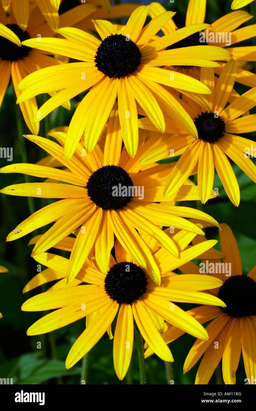Flowering cone flower cultivar Goldsturm (Rudbeckia fulgida var. sullivantii cultivar Goldsturm) Stock Photo