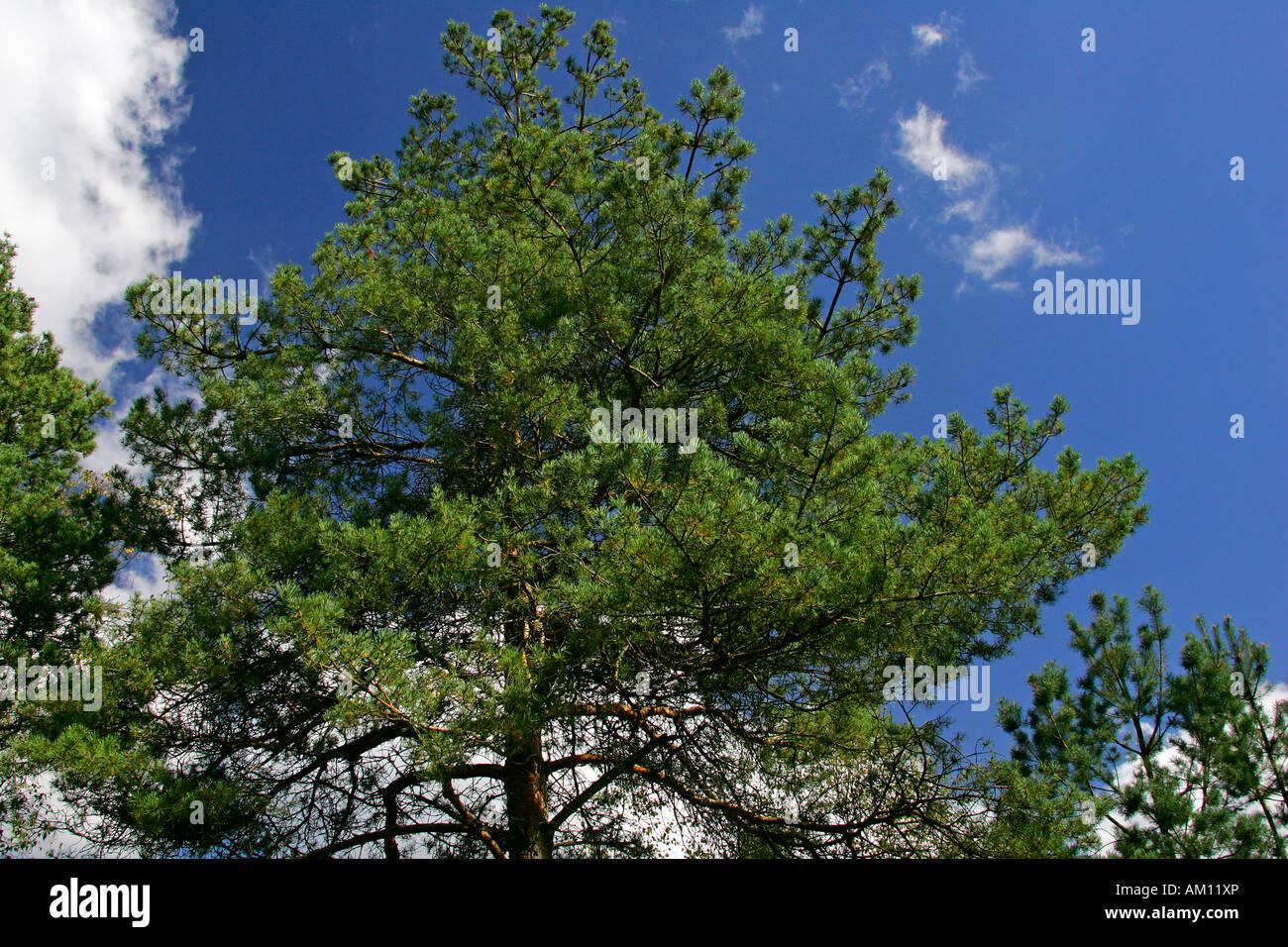 Scotch pine - scots pine - conifer - (Pinus sylvestris) - Stock Image