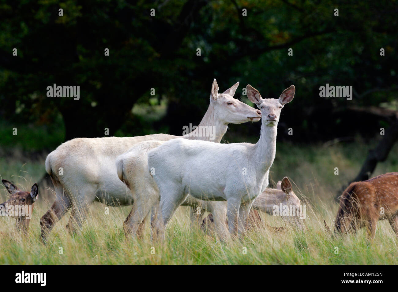 Watchful white female red deers during the rut - white hinds (Cervus elaphus) Stock Photo