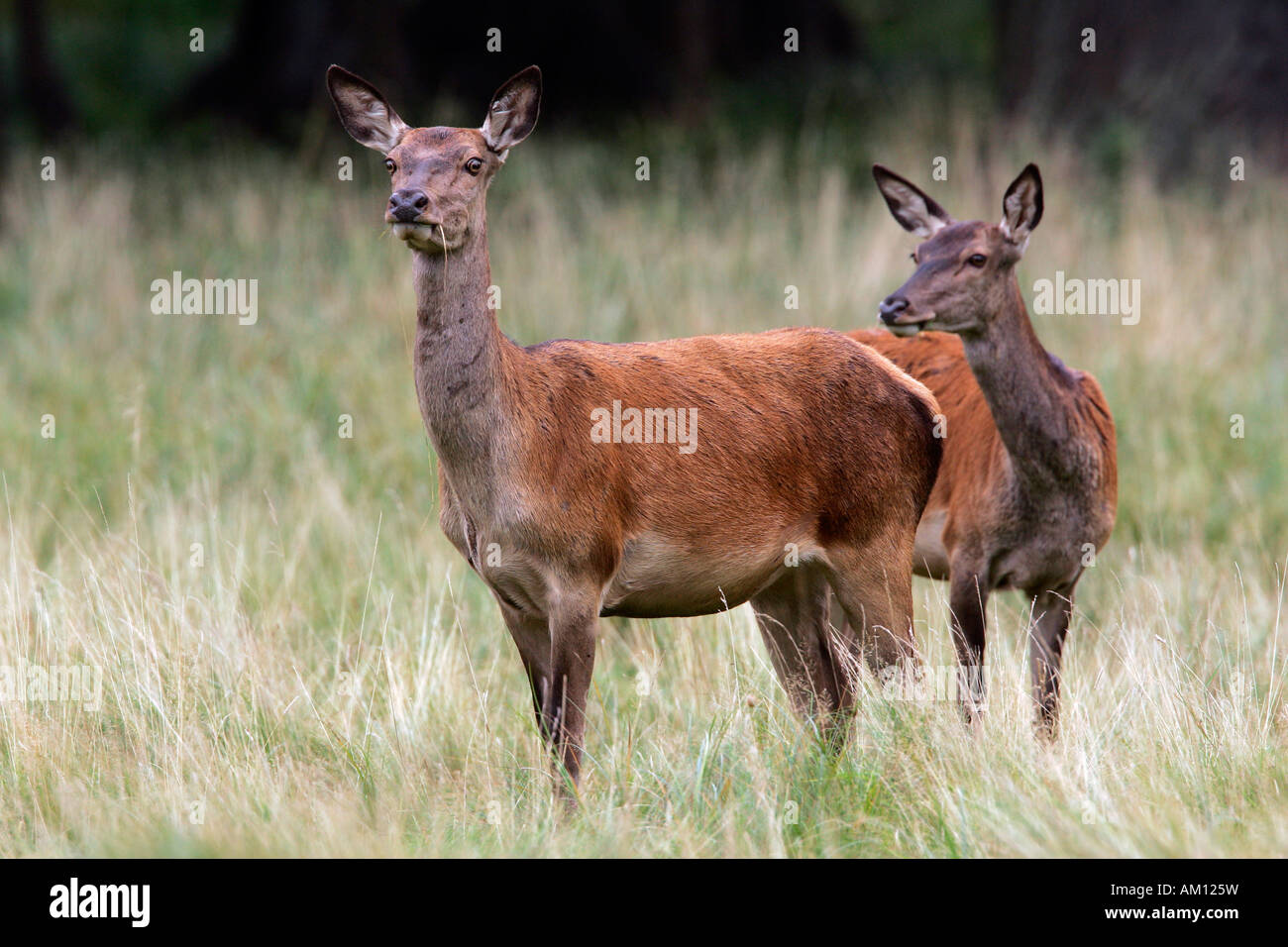 Watchful female red deers during the rut - hinds (Cervus elaphus) Stock Photo