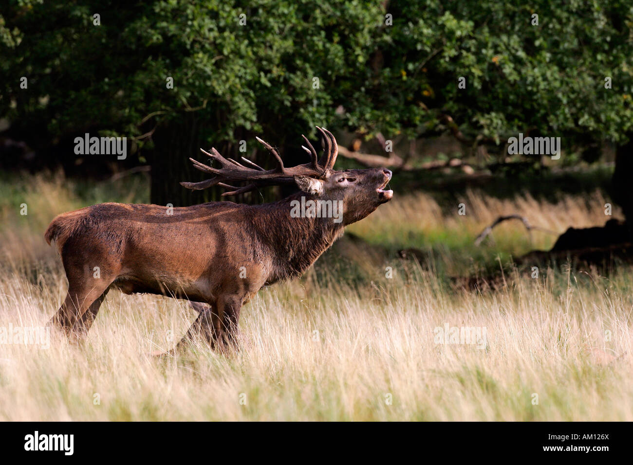 Belling red stag during the rut - red deer in heat - male (Cervus elaphus) Stock Photo