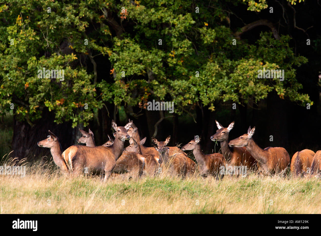 Watchful female red deers during the rut - pride of hinds at the border of a wood (Cervus elaphus) Stock Photo