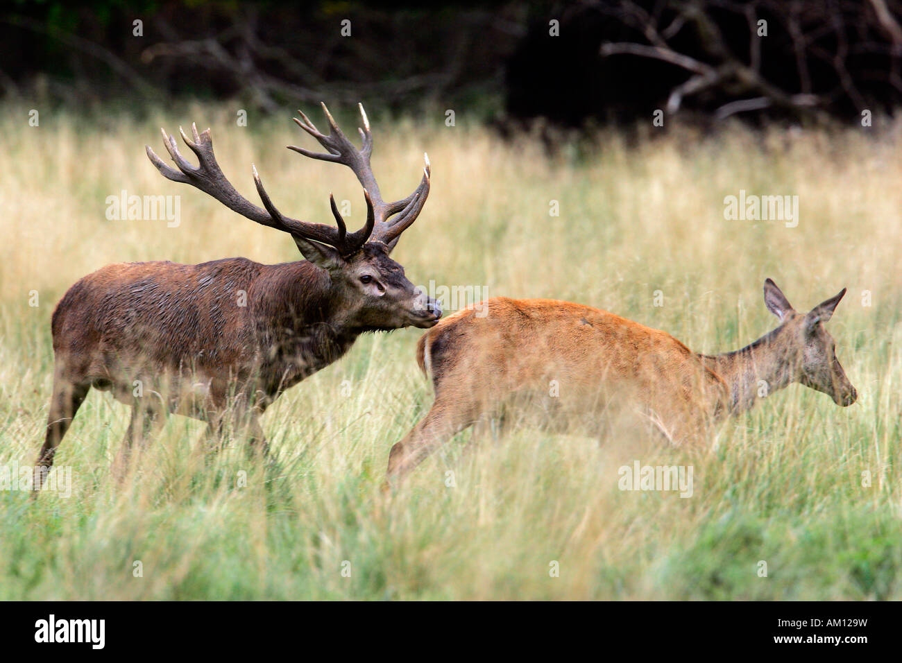 Red stag during the rut following a hind - red deer in heat - behaviour - male and female (Cervus elaphus) Stock Photo