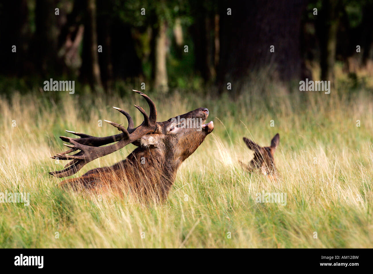 Belling red stag during the rut with hind - red deer in heat - male and female (Cervus elaphus) Stock Photo