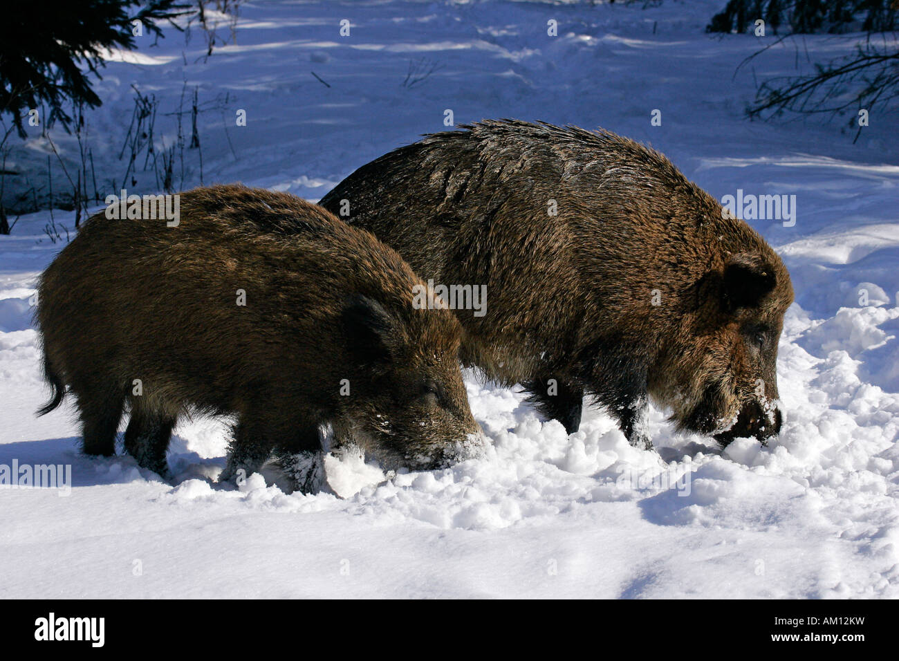 Wild boars in snowcovered winterforest (Sus scrofa) Stock Photo