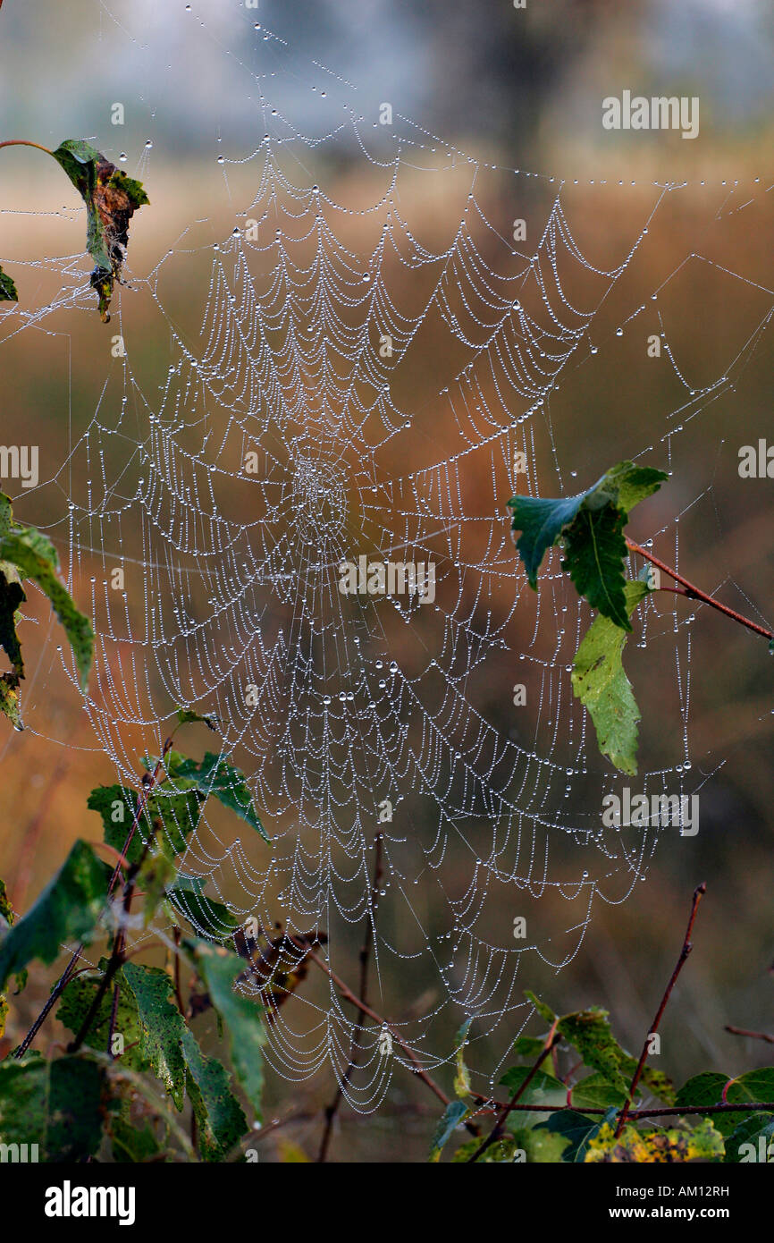 Spiderweb with dewdrops - cross orbweaver - cross spider - european garden spider (Araneus diadematus) - Stock Image