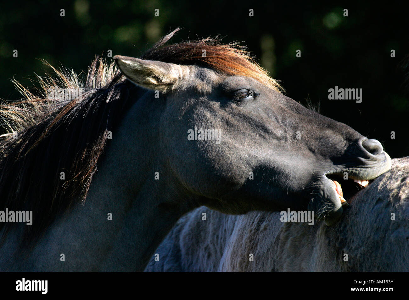 Konik horses - social behaviour (Equus przewalskii f. caballus) Stock Photo