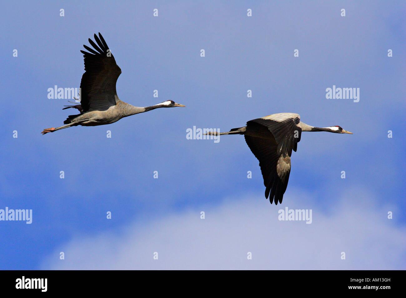 Couple of flying common cranes (Grus grus) - national park Vorpommersche Boddenlandschaft, Mecklenburg-Western Pomerania, Stock Photo