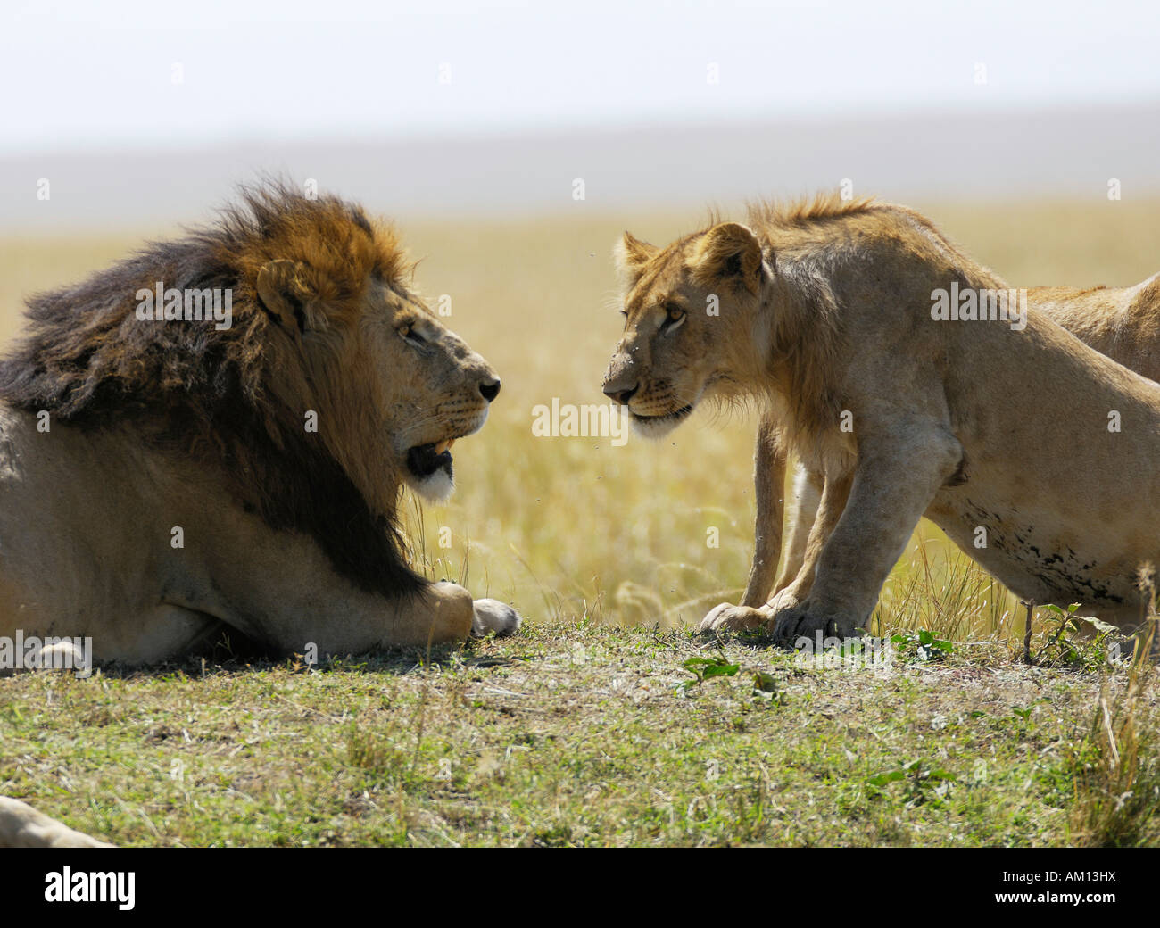 Lion (Panthera leo), young lion obsequiously greeting the pride leader, Masia Mara, Kenya Stock Photo
