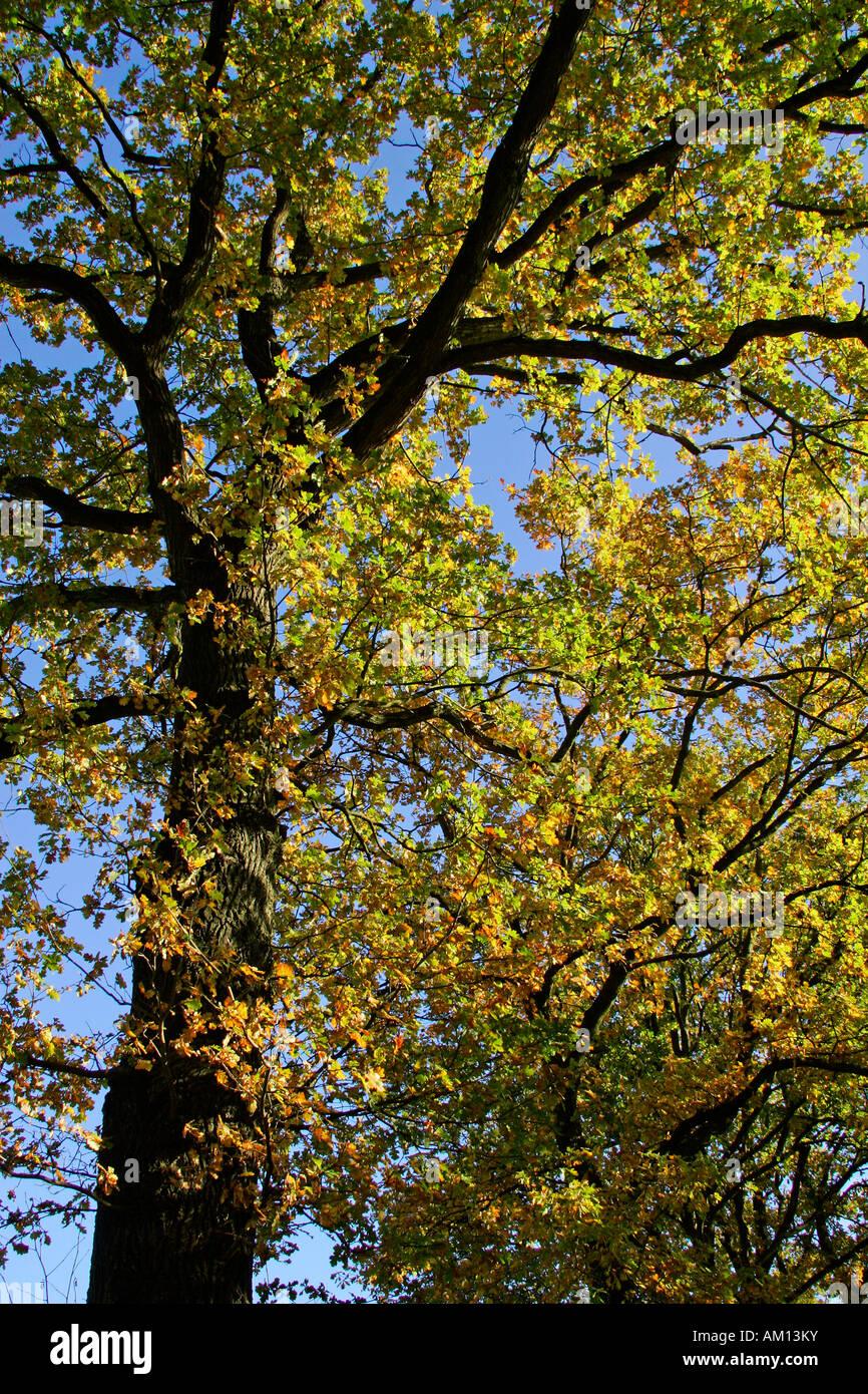 Alte Eiche Quercus Robur Im Herbst Stock Photos Alte Eiche Quercus
