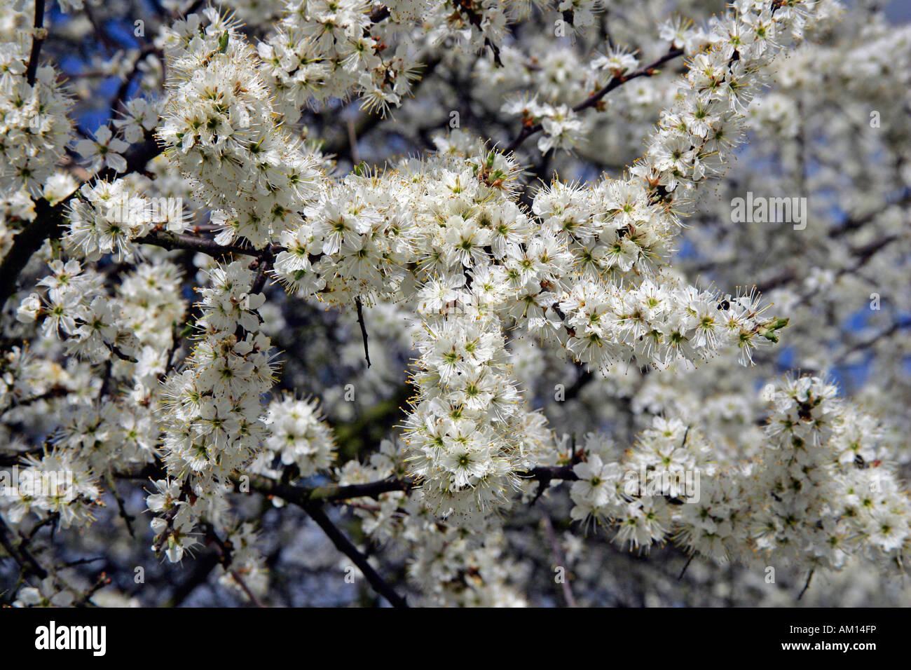 Flowering blackthorn - sloe (Prunus spinosa) Stock Photo