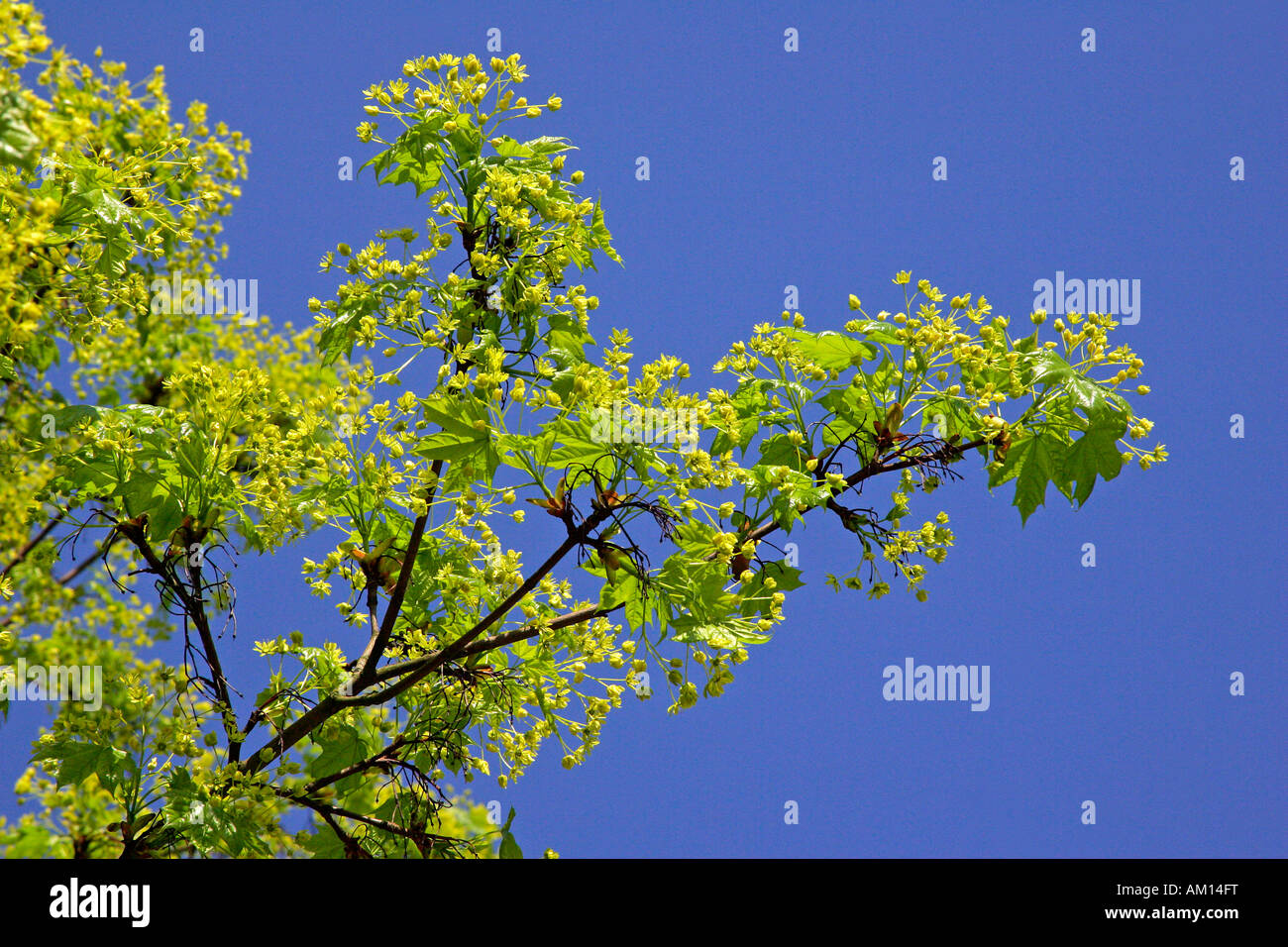 Norway maple - leaves and blossoms in spring (Acer platanoides) Stock Photo