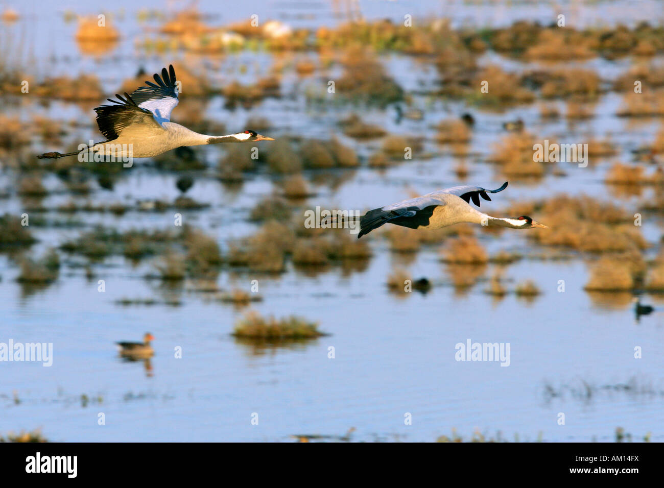 Couple of flying common cranes (Grus grus) in the morning light over the lake Hornborga - Sweden, Europe Stock Photo