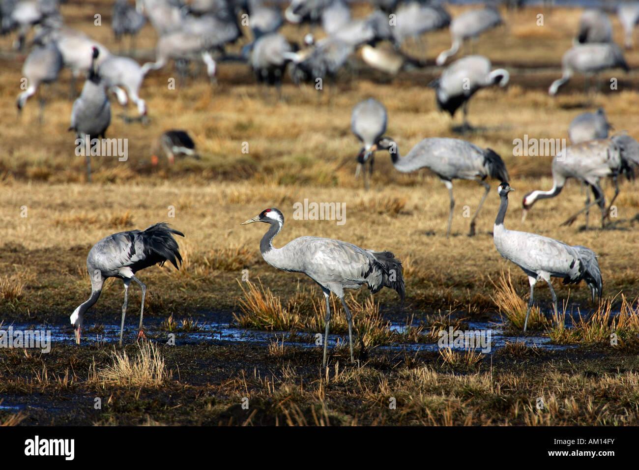Resting common cranes (Grus grus) at lake Hornborga in Sweden - Europe Stock Photo