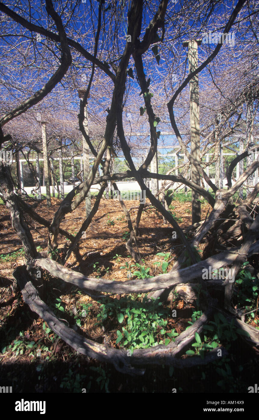 Mother Vine planted by first English colonists at Roanoke NC - Stock Image