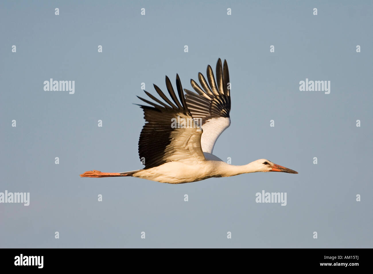 Young white storch (Ciconia ciconia) flying, Germany Stock Photo