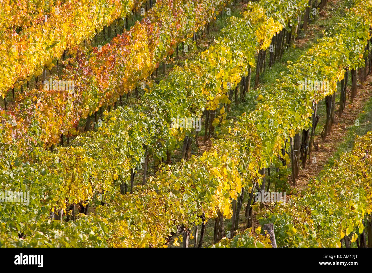 Vineyard in autumn, Perchtoldsdorf, Lower Austria, Austria Stock Photo