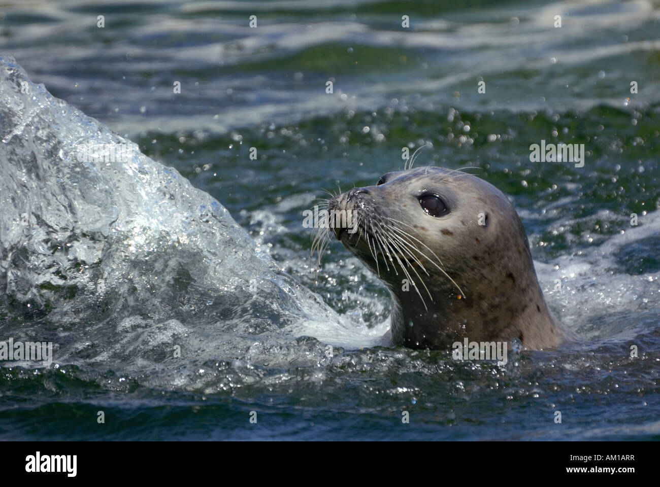 Portrait of a Seal (Phoca vitulina) - Stock Image